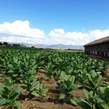 A field of healthy tobacco in the Dominican Republic grown by Litto Gomez at his La Canela farm. This picture was taken in mid-February.